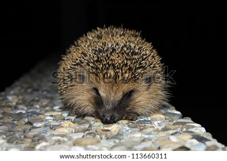 A curious hedgehog on a stone wall in the night.