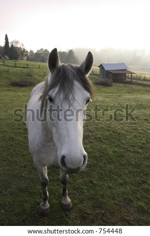 A curious horse in the pasture down on the farm on a foggy day