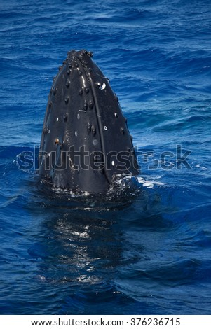 A curious humpback whale spy hops to take a look around - stock photo