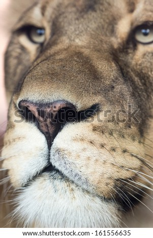A curious lioness up close in detail. - stock photo