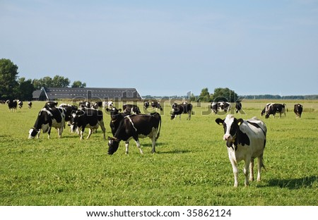 a curious milker cow of the herd is not grazing with her companions in a dutch meadow on reclaimed land