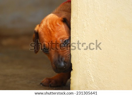A curious purebred Rhodesian Ridgeback hound dog puppy looking around the corner from behind a wall with blurry background inside. - stock photo