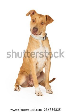 A curious Staffordshire Bull Terrier Mix Breed Dog sitting while waiting for directions from handler.  - stock photo