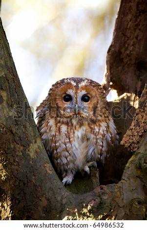 A curious tawny owl in a tree - stock photo