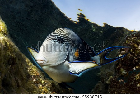 a curious tropical fish approaches the underwater photographer.Photo taken at Sharm el Sheikh, Egypt - stock photo