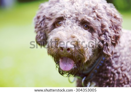 A curly and brown haired dog portrait. The dog breed is Lagotto romagnolo which is also known as Italian waterdog. Image has a vintage effect applied. - stock photo