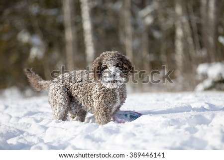 A curly haired brown dog is standing in the deep snow with a frisbee. The dogs fur is covered with snow. The dog breed is lagotto romagnolo also known as the truffle dog. - stock photo