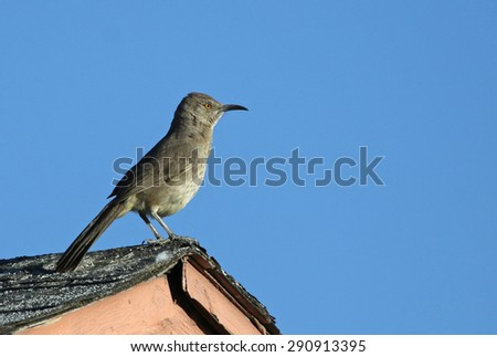 A Curve-billed Thrasher (Toxostoma curvirostre) sitting on the crest of a roof.  Shot in Tuscon, Arizona, USA.  - stock photo