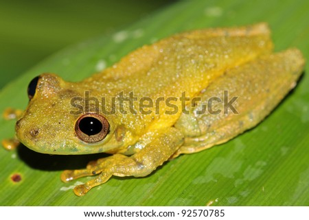 A cute Amazon Snouted Frog (Scinax ictericus) in the Peruvian Amazon Lots of space for text - stock photo
