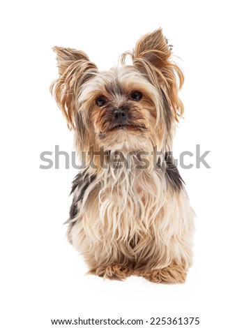 A cute and attentive Yorkshire Terrier dog sitting and looking forward with slight tilt of the head. - stock photo