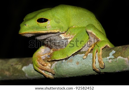 A cute and chubby Monkey Treefrog (Phyllomedusa camba) sleeps in the Peruvian Amazon Isolated with lots of space for text - stock photo