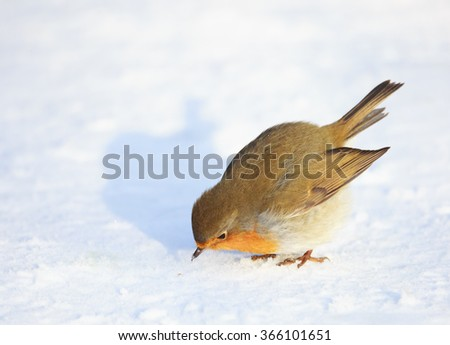 A cute and colorful European robin (Erithacus rubecula) is looking at a seed in the snow before eating it. Location: Lund, Sweden.  - stock photo
