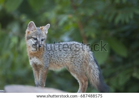A Cute and cuddly juvenile grey fox (Urocyon cinereoargenteus), also called a kit. Ozark Mountains of Arkansas