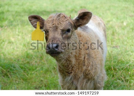 A cute and curious light tan and brown baby calf - stock photo