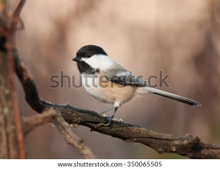 A cute and energetic Black-capped Chickadee perches on a weathered branch in a midwestern garden.