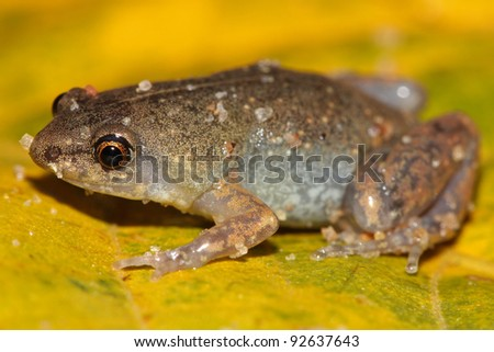 A cute and extremely tiny Sheep Frog (Chiasmocleis ventrimaculata) in the Peruvian Amazon - stock photo