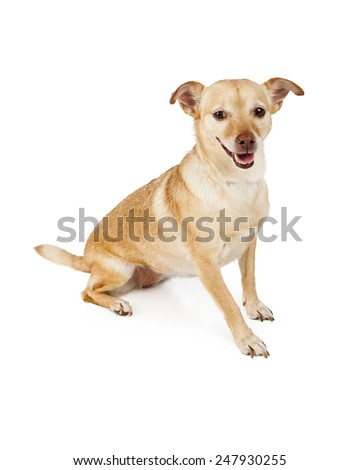 A cute and happy Chihuahua mixed breed dog sitting against a white background - stock photo