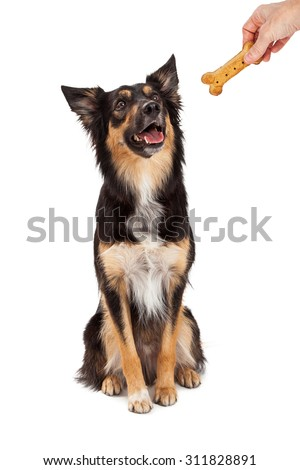 A cute and happy young black and tan color Border Collie and Shepherd mixed breed dog sitting and looking up at the hand of a person holding a treat  - stock photo