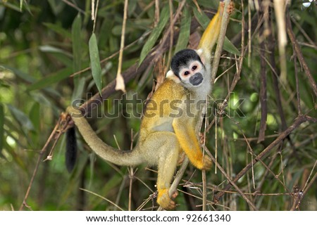 Herpes saimiri: Is a virus carried by about 70 of wild squirrel monkeys 2