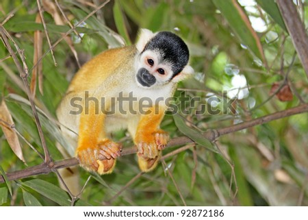 A cute and inquisitive WILD Squirrel Monkey (Saimiri boliviensis) in the Peruvian Amazon - stock photo