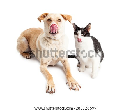 A cute and large adult yellow Labrador Retriever mixed breed dog laying down next to a black and white cat. Both are sticking their tongues out to lick their lips. - stock photo