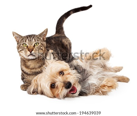A cute and playful mixed breed terrier dog and a tabby cat laying together  - stock photo