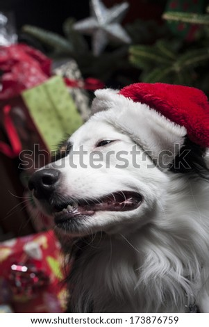 a cute Australian Shepherd in front of a christmas tree with a santa hat - stock photo