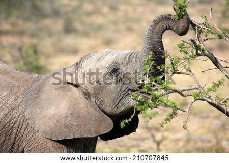 A cute baby elephant feeding in this image. - stock photo