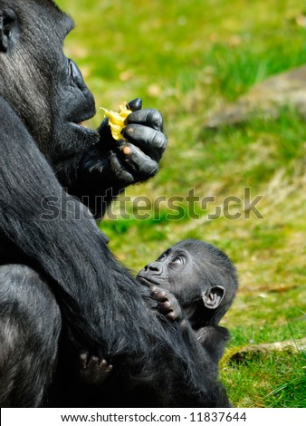 a cute baby gorilla holding on to mother - stock photo