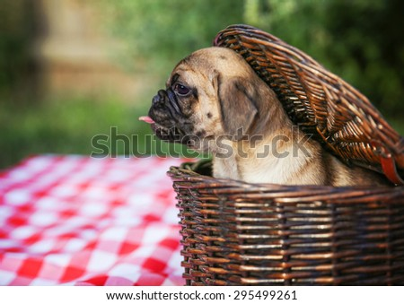 a cute baby pug chihuahua mix puppy looking out of a wicker picnic basket and licking her face during summer maybe on the 4th of july holiday  - stock photo