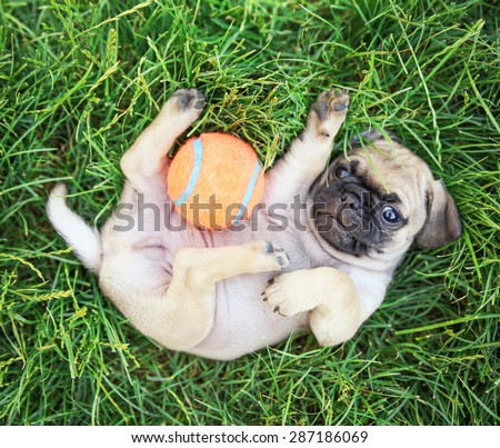 a cute baby pug chihuahua mix puppy playing with an orange tennis ball in the grassy clover during summer - stock photo