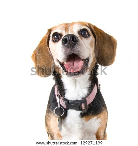 a cute beagle looking at the camera - stock photo