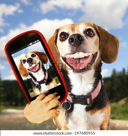 a cute beagle looking at the camera - stock photo