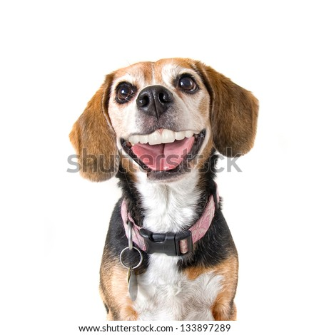 a cute beagle with a big grin looking at the camera - stock photo