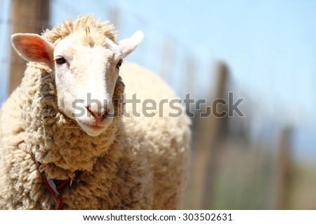 A cute beautiful sheep. soft-focused. - stock photo