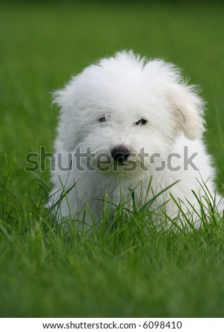 A cute bichon frise puppy, in the grass - stock photo