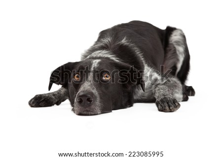 A cute black and grey color Border Collie dog laying with head down and eyes looking up - stock photo