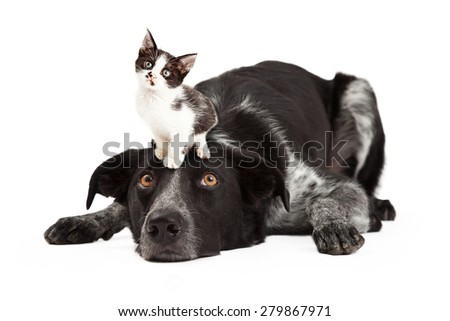A cute black and grey color Border Collie dog laying with head down and eyes looking up at a little kitten sitting on his head - stock photo