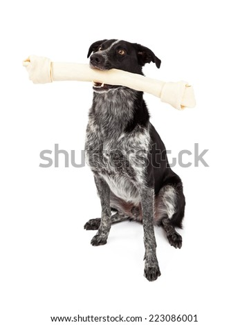 A cute black and grey color Border Collie dog sitting and carrying a large rawhide bone - stock photo