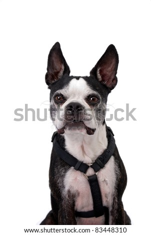 A cute black and white Boston Terrier wearing a harness - stock photo