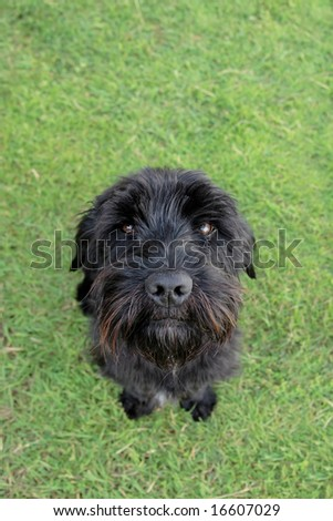 a cute black scottish terrier sitting in the grass - stock photo