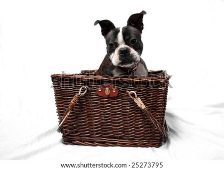 A cute Boston Terrier in a basket. - stock photo