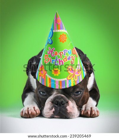 a cute boston terrier with a birthday hat on pouting on a green background