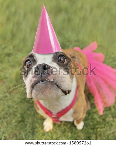 a cute boston terrier with a dress and a pink party hat on - stock photo
