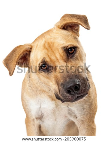 A cute boxer mix dog sits and looks into the camera while leaning his head to one side - stock photo