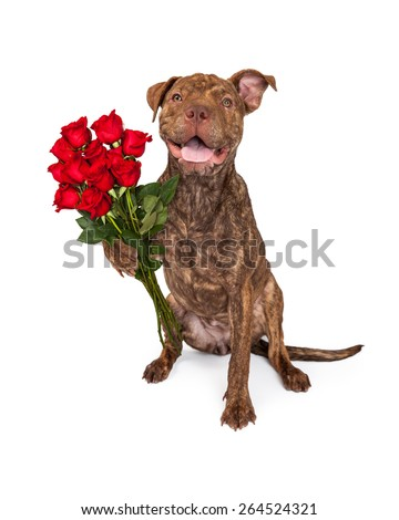 A cute brindle color Pit Bull and Shar Pei crossbreed dog holding a dozen beautiful red roses - stock photo