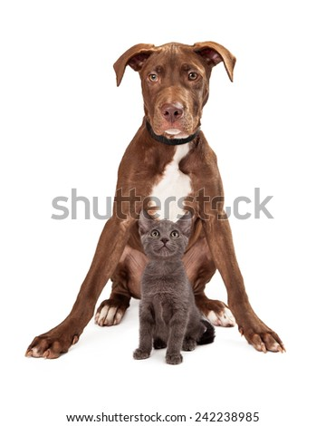 A cute brown and white puppy sitting with front legs outstretched and a little grey kitten between them