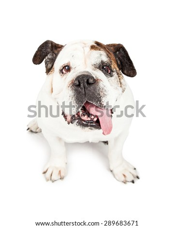 A cute Bulldog breed dog looking up with long tongue hanging out of his mouth - stock photo