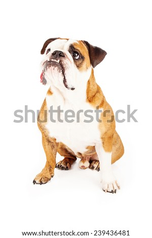 A cute Bulldog sitting and looking up and to the side