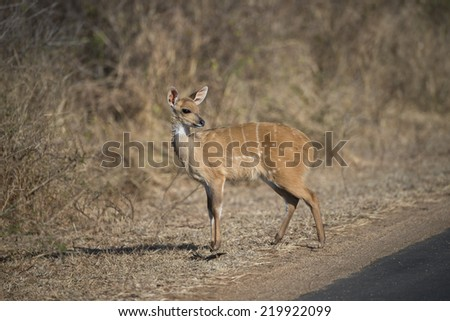 A cute Bushbuck Baby at the roadside in Kruger National Park - stock photo